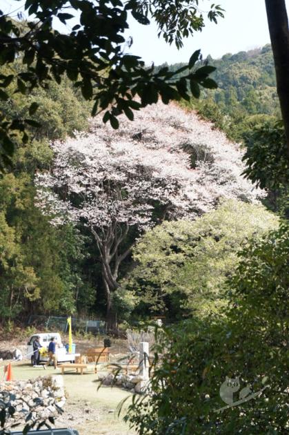 伊勢志摩・天の岩戸(恵利原の水穴)の名桜