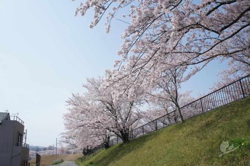 伊勢志摩・宮川堤の桜