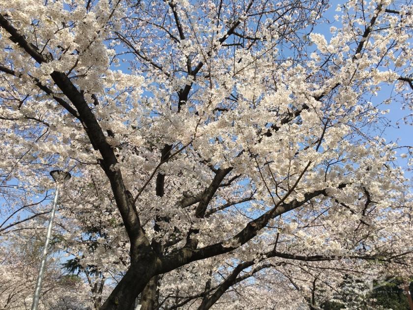 大阪・住吉公園の桜